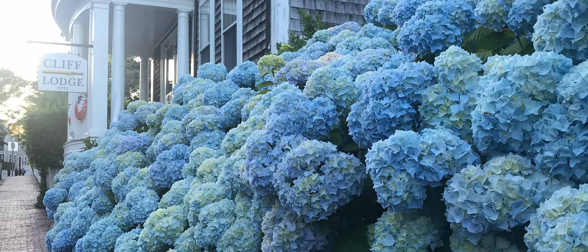 Blue Hydrangeas at the Cliff Lodge on Nantucket